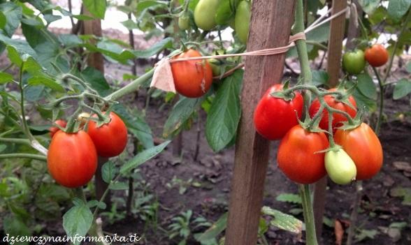 pomidorkizogrodka